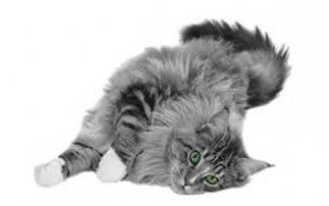 De kat is krols en schuift laag over de vloer met haar achterwerk omhoog