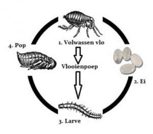 Ontwikkeling van vlooien, de cyclus
