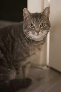 Cyperse eigenzinnige kat zit in de deuropening.