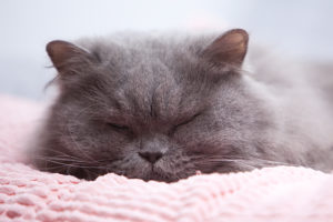 Blauwe Brits langhaar sukkelt in slaap