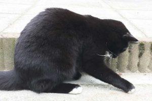 Zwart-witte kat vangt vliegje
