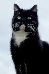Zwart-witte kat op de uitkijk