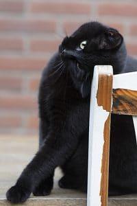 Zwarte poes geeft kopjes aan stoeltje buiten