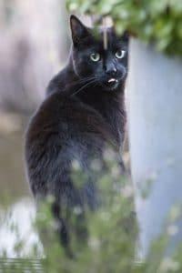 Zwarte kat steekt tong uit