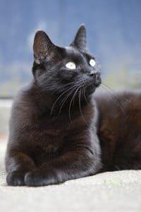 Zwarte kat kijkt omhoog