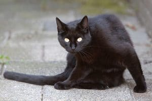 Zwarte kat kijkt op tijdens het wassen